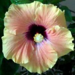 Hibiscus, yellow BEsposito