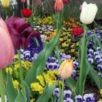 Tulips BenitaEsposito